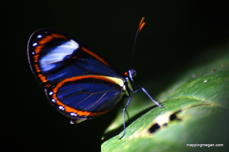Peruvian Butterfly.