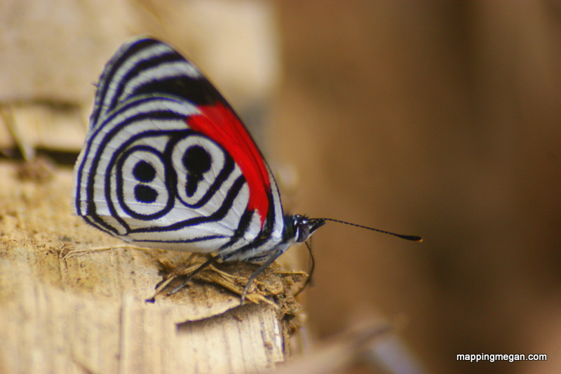 "Eighty Eight Butterfly.  Found in wet tropical forests in South and Central America; can you see the black outlined ""88"" on it's wings which gives it it's common name?"