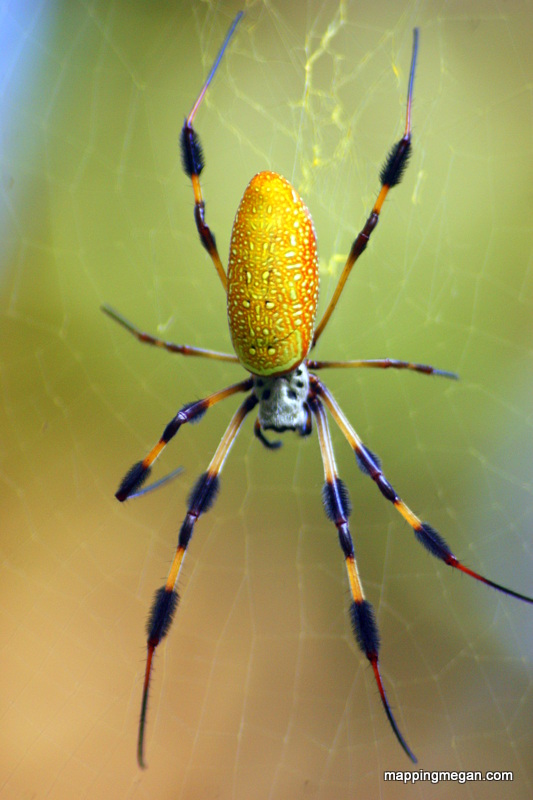 Golden Silk Orb Weaver (Spider).  These spiders are noted for the impressive webs they weave.  In North America they are also referred to as Banana Spiders.