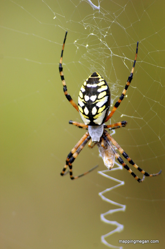 Yellow Garden Orb Weaver.