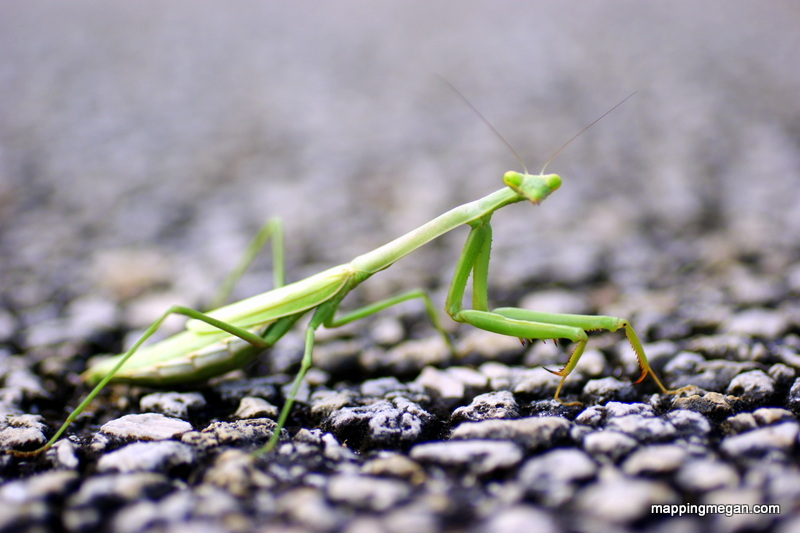 "Praying Mantis.  Some people think they are called so because of their ""prayer like"" posture, while others believe their name is due to their predatory nature.   They prey on other insects."