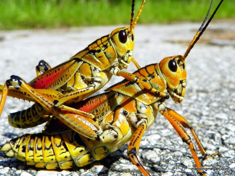 Lubber Grasshopper.  These are found all over Florida and other Southeastern locations within the United States. This an an incredibly distinctive species of grasshopper - known for it's size and unique coloration!