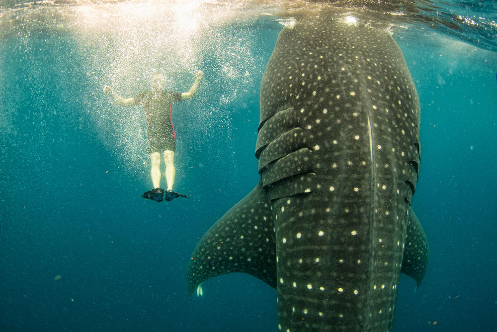 Swimming with whale sharks. Mexico