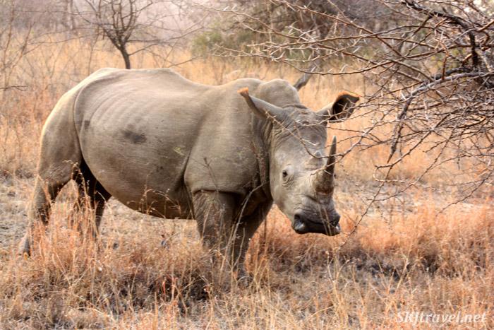 White Water Rhino
