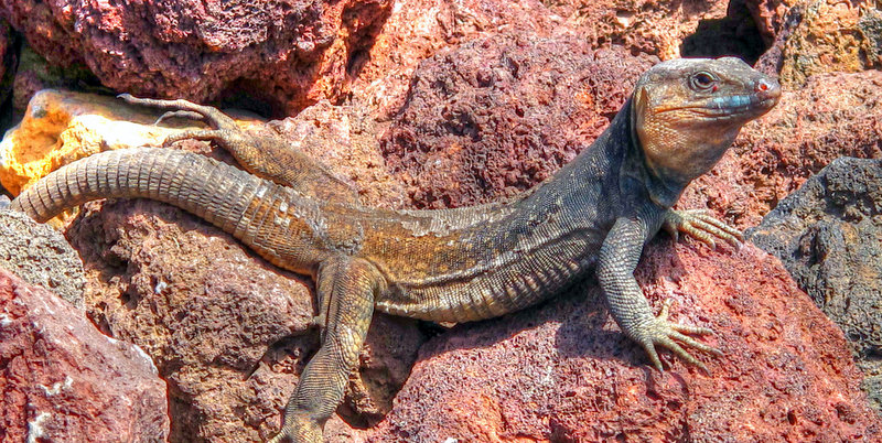 Find Lizards basking in the sun! Photo by Juan Ramon Rodriguez Sosa.