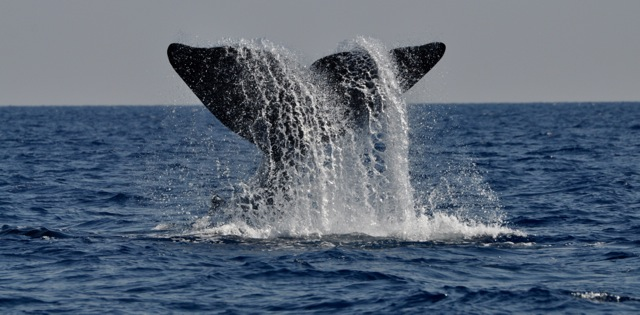 Catching sight of a Sperm Whale.