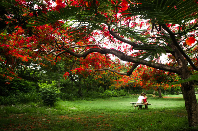 The flowering of the Flamboyant tree's in the Dominican Republic creates an incredibly romantic atmosphere! Gabriel Harding of We Travel And Blog.