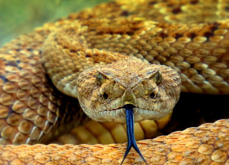 rattlesnake arizona