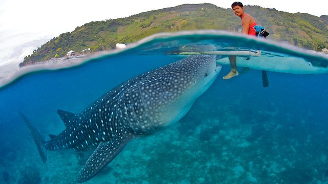 Swim with Whale Sharks Philippines