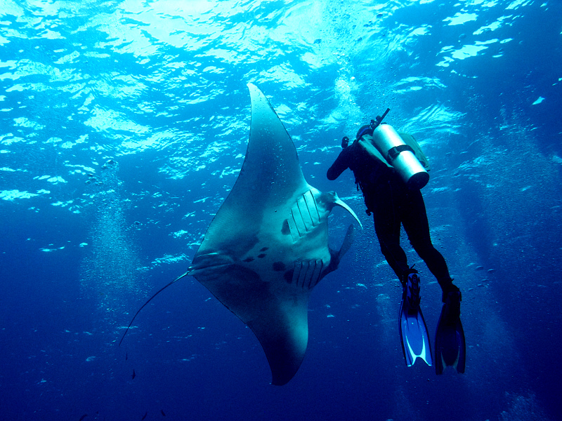 Diving Sting Ray Thailand