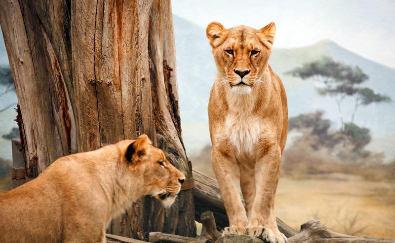 Africa safari lion Tanzania