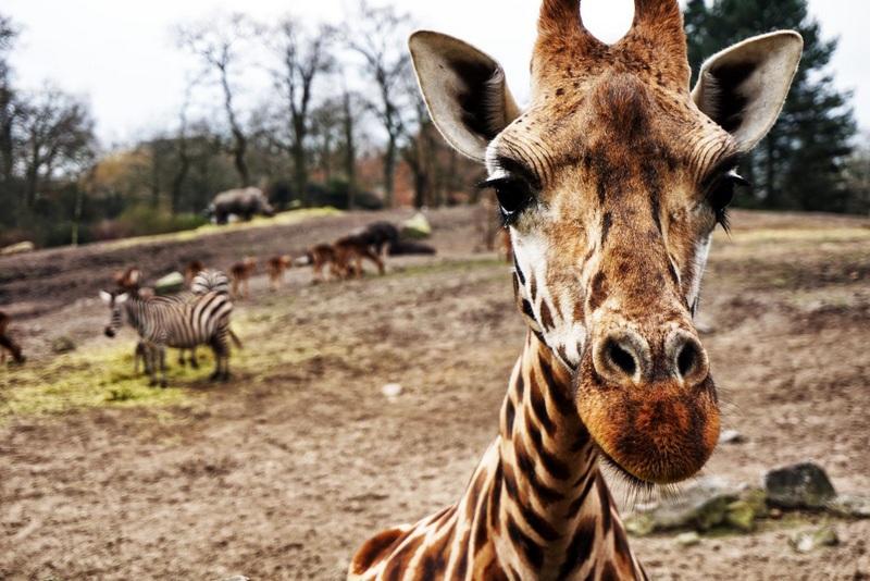 Giraffe Africa Safari