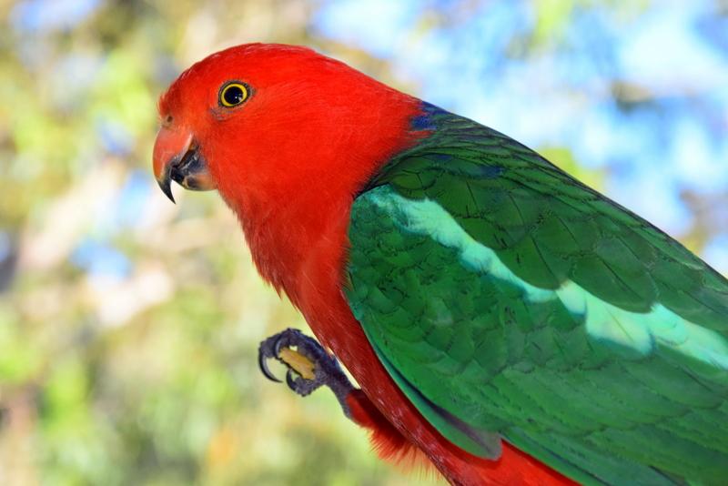 King Parrot Australia