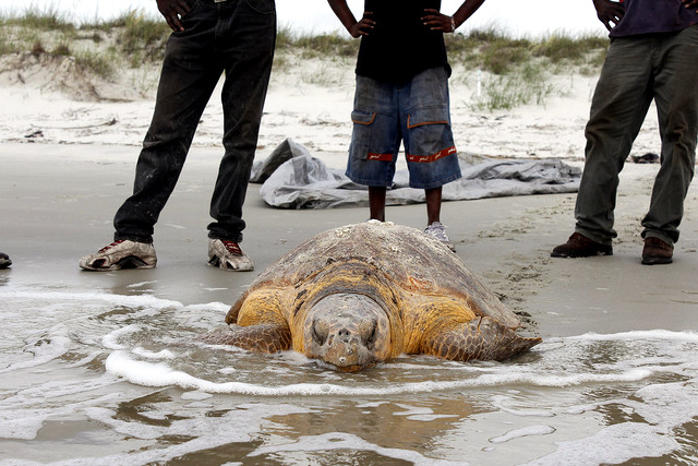 Volunteers rescued her, returning her to the ocean.