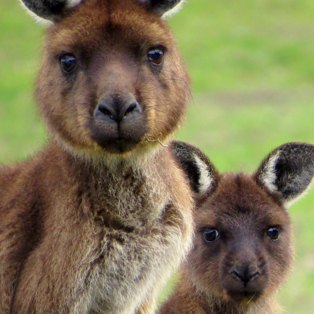 Discover the Wildlife of Kangaroo Island: Australia's Own Galapagos (And get 20% off your trip!)