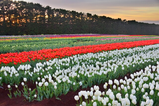 Table Cape Tulip Farm Tasmania's Tulip Season