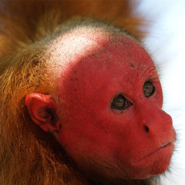 The Amazon's Bald Uakari