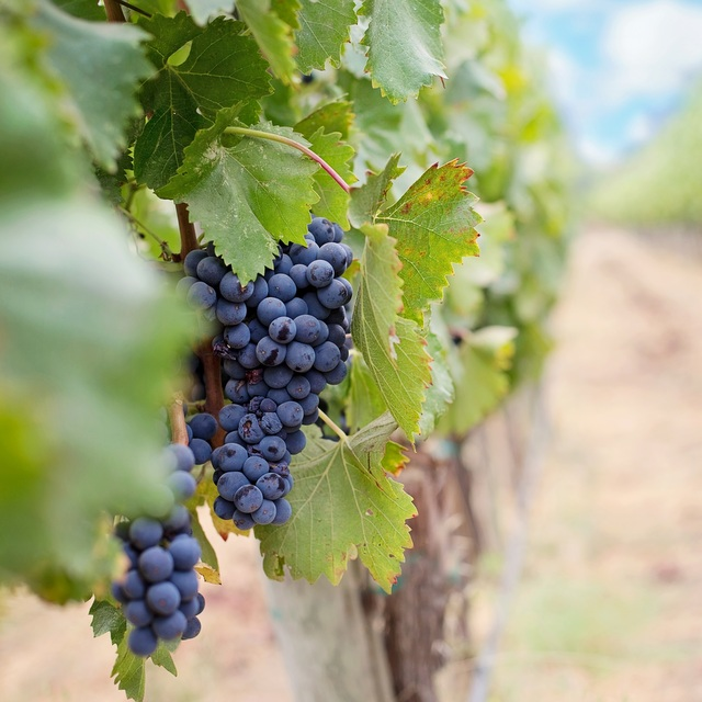 Visit the Hunter Valley Wine Region and Discover The Birthplace of Australian Wine