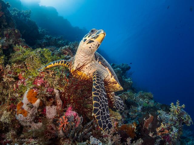 Hawksbill Turtle Indonesia