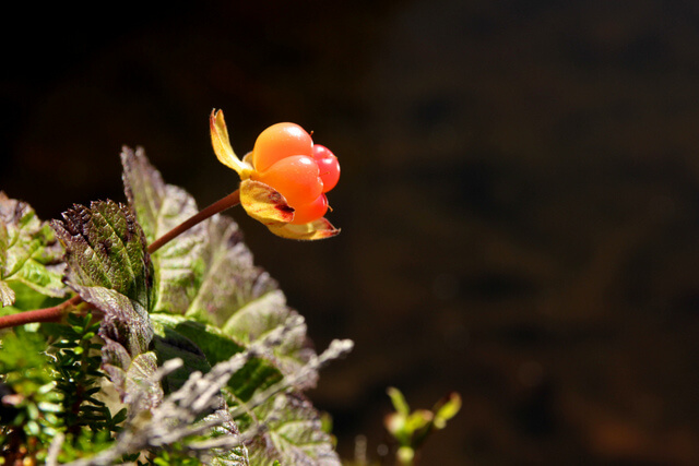 Soft and juicy cloudberry in Gausdal Vestfjell.