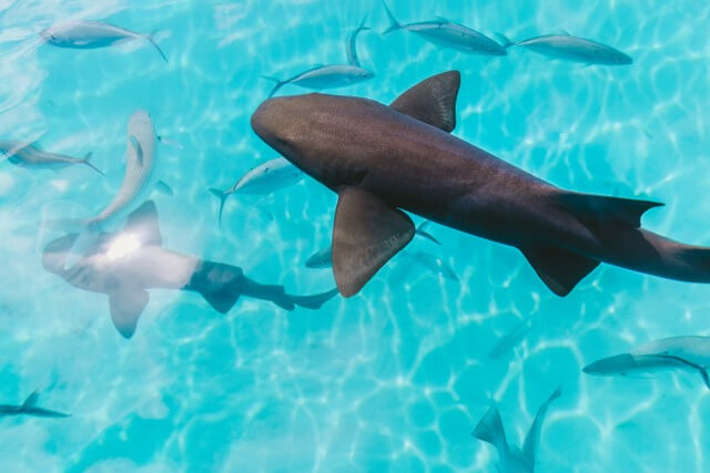 Shark RF