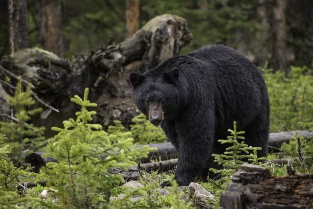 Black Bear RF