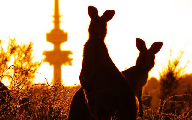 Canberra Kangaroo