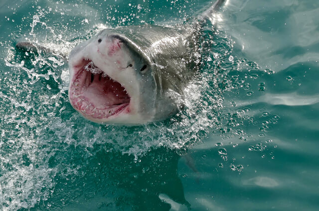 Great White Shark Dive