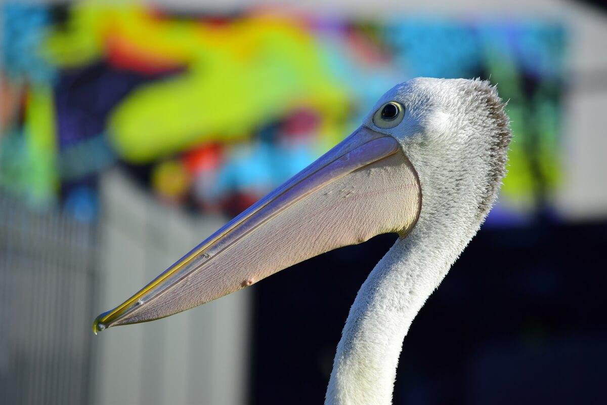 Mildura Pelican