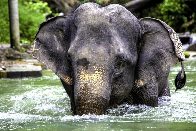 Asian elephant RF