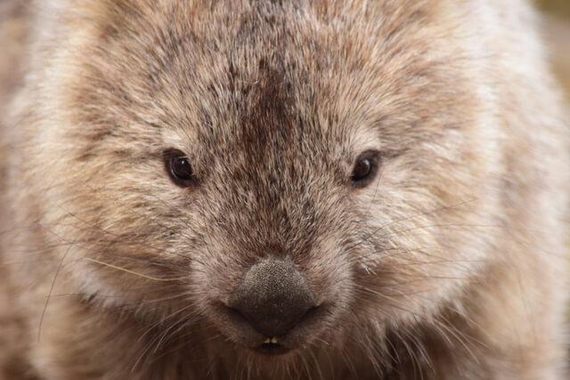 Maria Island Tasmania Wombat