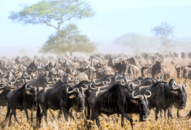 The Great Migration Kenya vs Tanzania RF