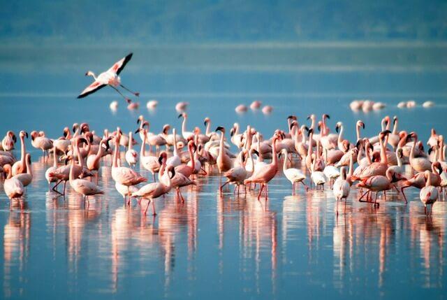 Flamingoes RF