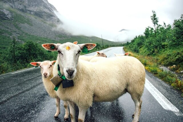 Sheep on the road RF